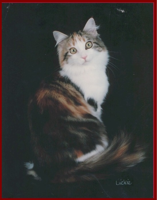 Harkleen Maine Coon Cats of
